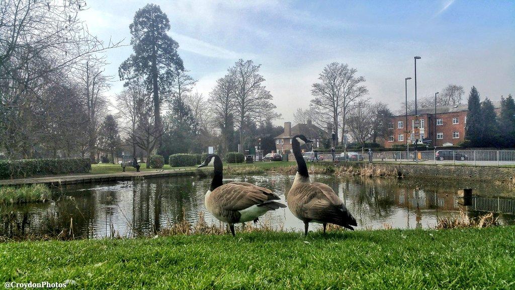 Geese Sanderstead pond   Inside Croydon